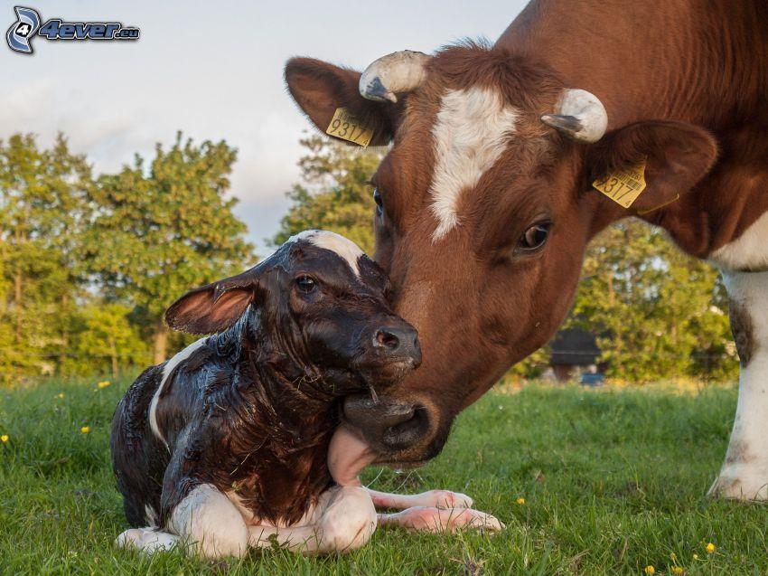 Mucche, vitello