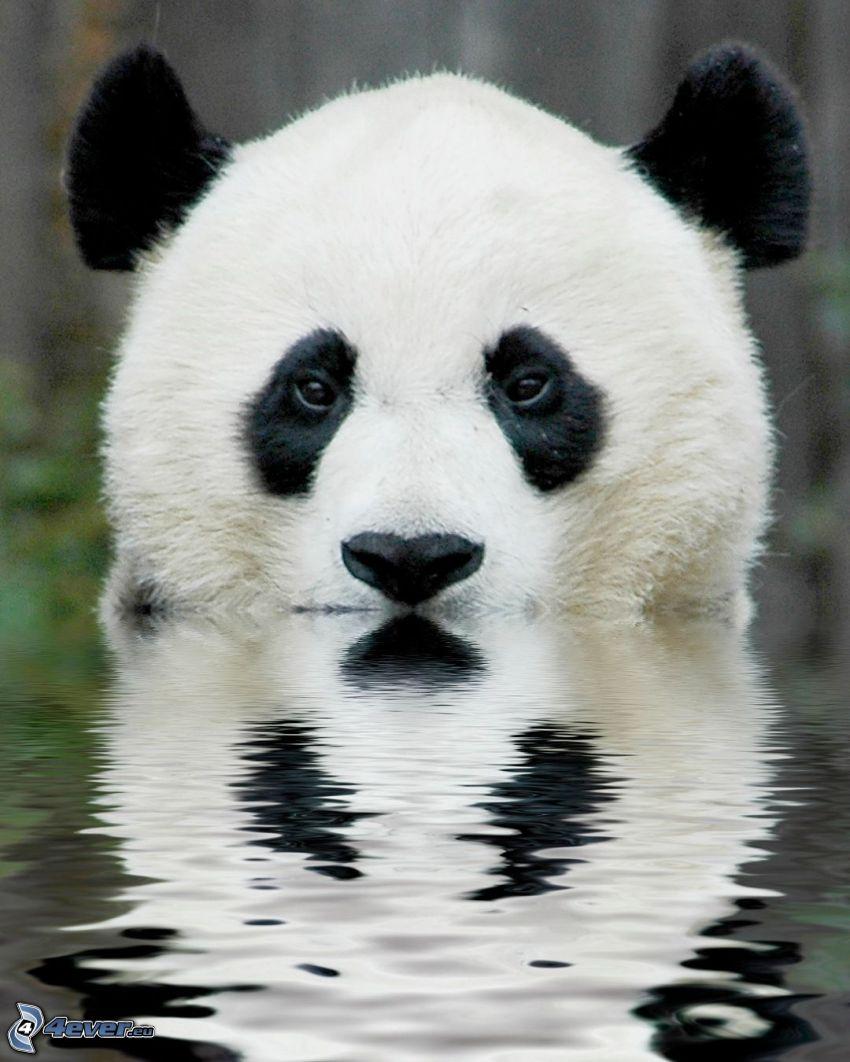 panda, acqua