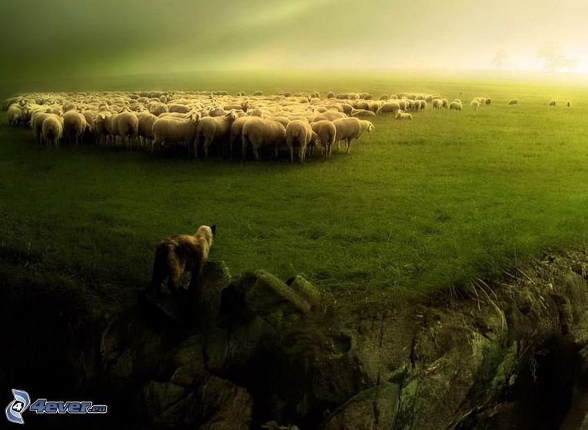 pecore, cane