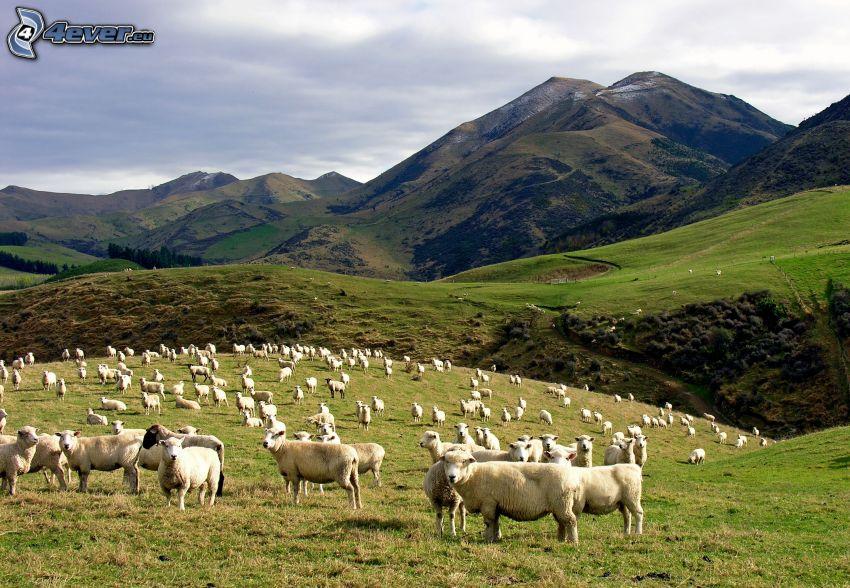 pecore, colline, prati
