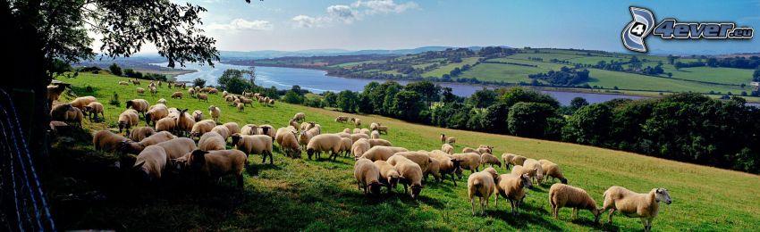 pecore, la vista del paesaggio