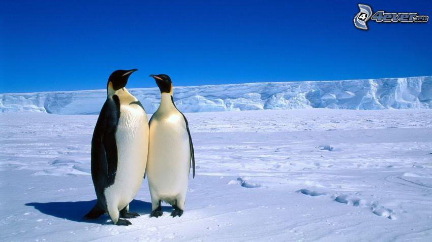 pinguini, ghiaccio