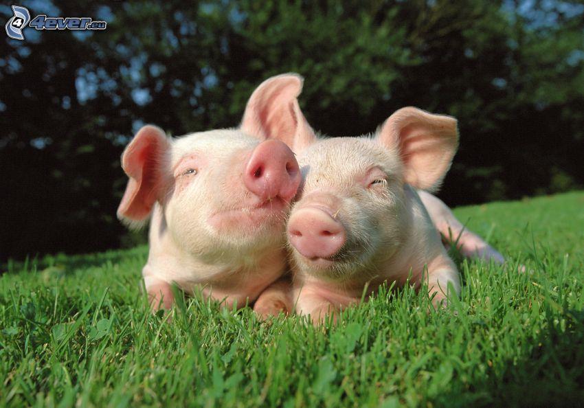 porcellini, amore, l'erba