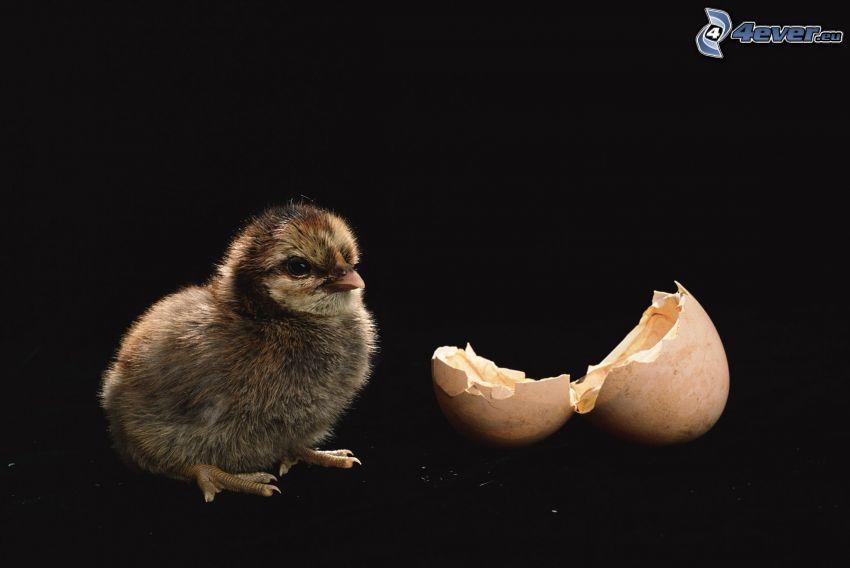 pulcino, guscio d'uovo