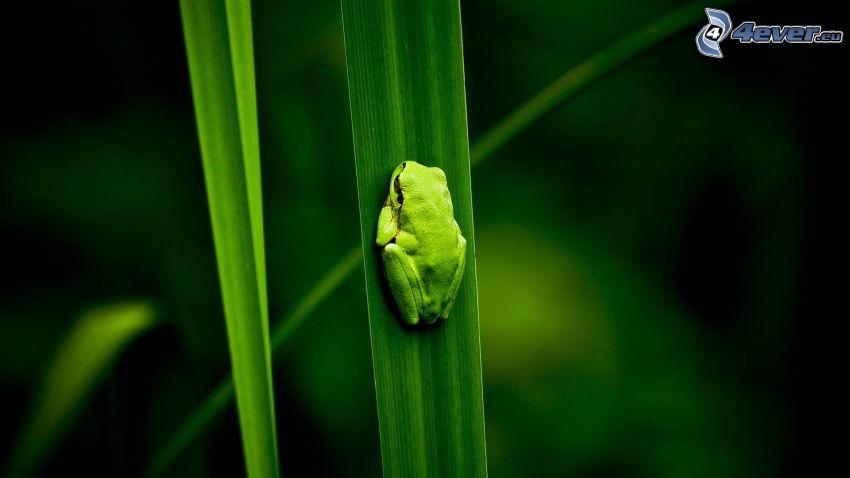 rana, foglie, verde