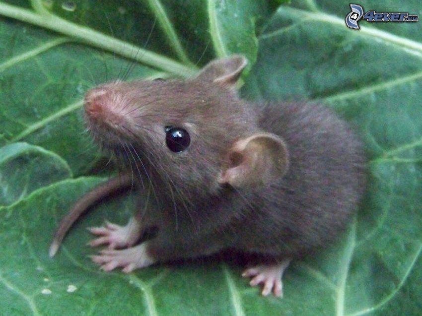 ratto, foglia