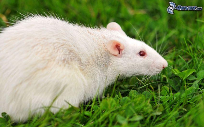 ratto, l'erba