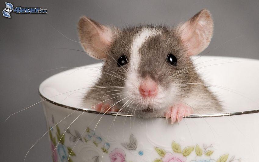 ratto, tazza