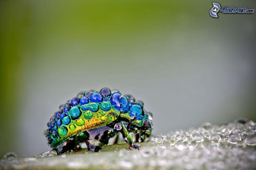 scarafaggio, gocce d'acqua, macro
