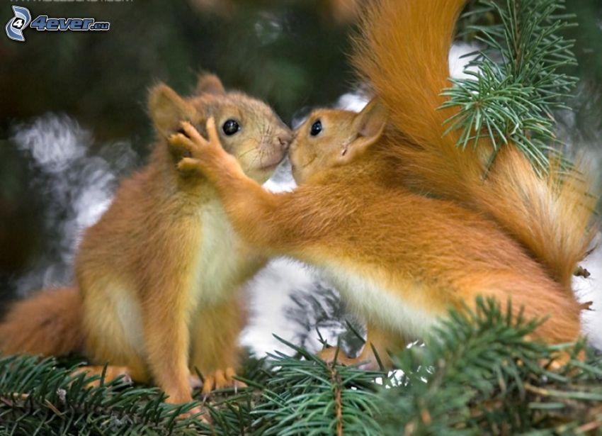 scoiattoli, bacio, alberi di conifere