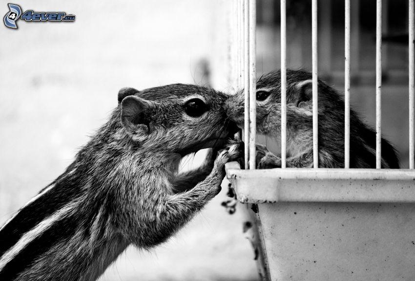 scoiattolo di terra, gabbia, foto in bianco e nero