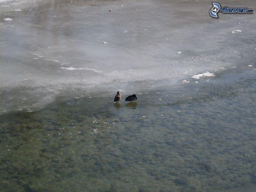 anatre sul lago, ghiaccio, inverno, acqua