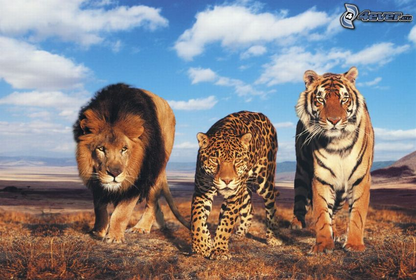 Belve, leone, giaguaro, tigre, Africa