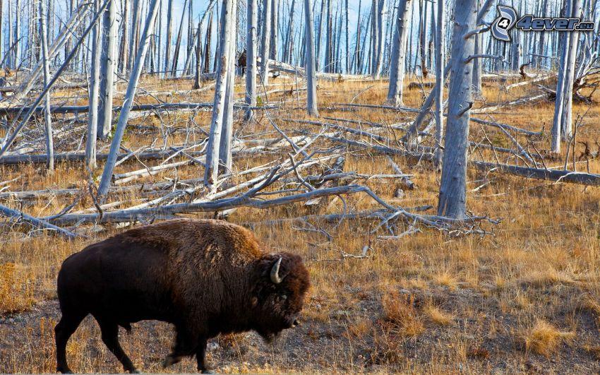 bisonte, foresta