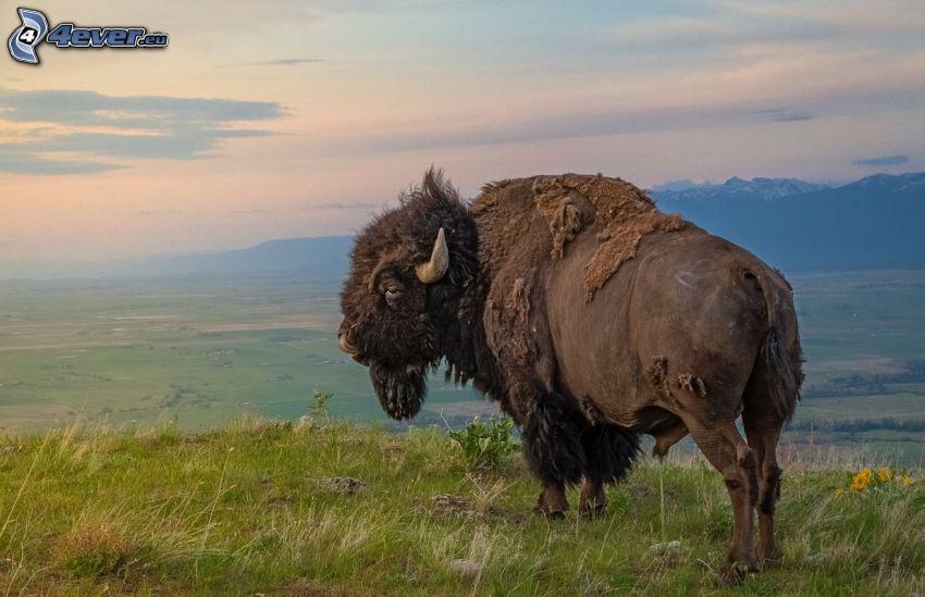 bisonte, la vista del paesaggio
