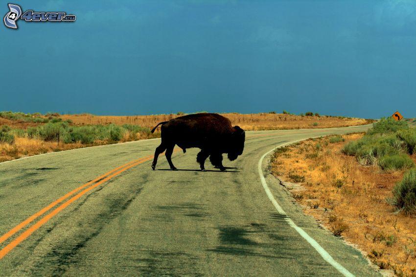 bisonte, strada