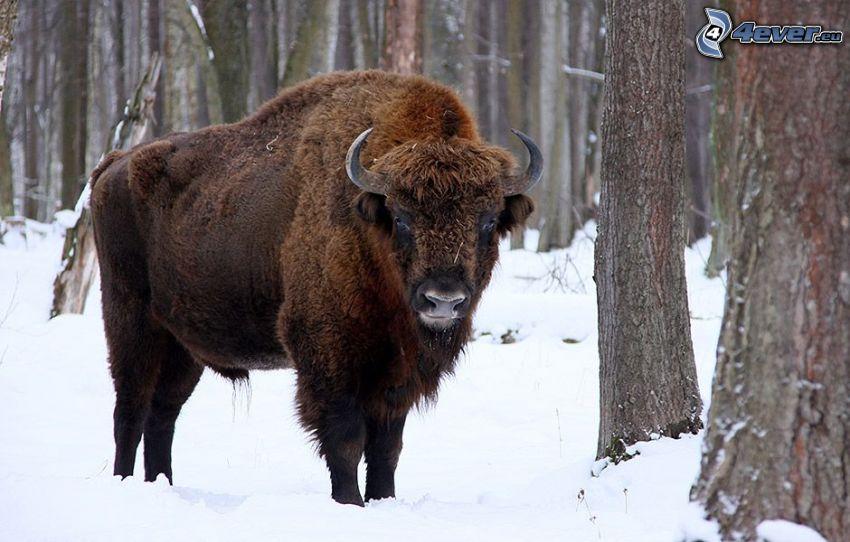 bisonte europeo, neve