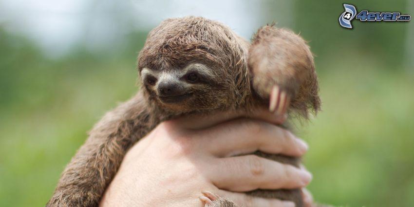bradipo, cucciolo, mano