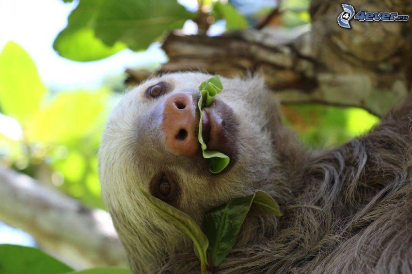 bradipo, foglie verdi