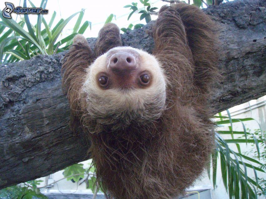 bradipo, tronco, foglie verdi