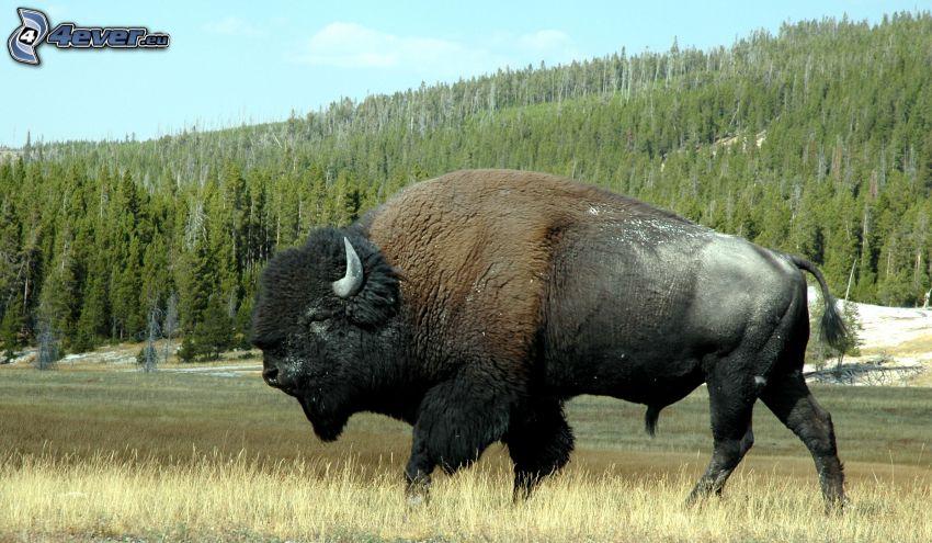 bufalo, foresta