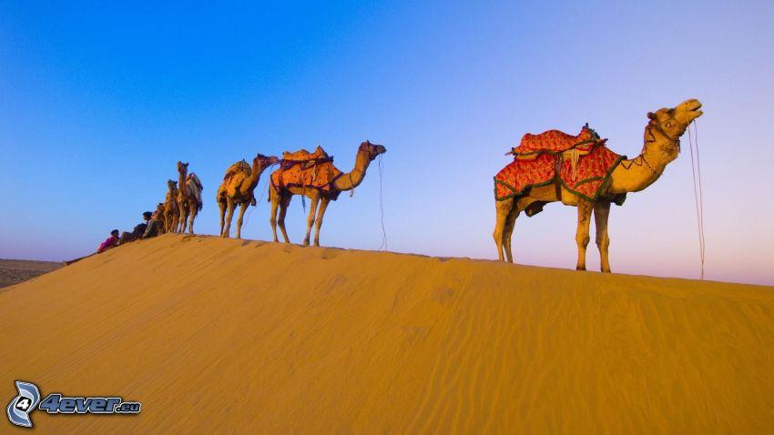 cammelli, deserto