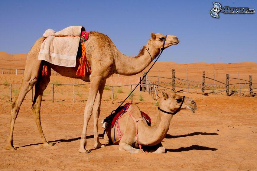 cammelli, recinzione, deserto