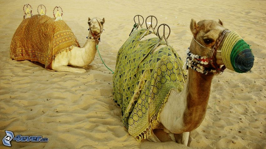 cammelli, sabbia