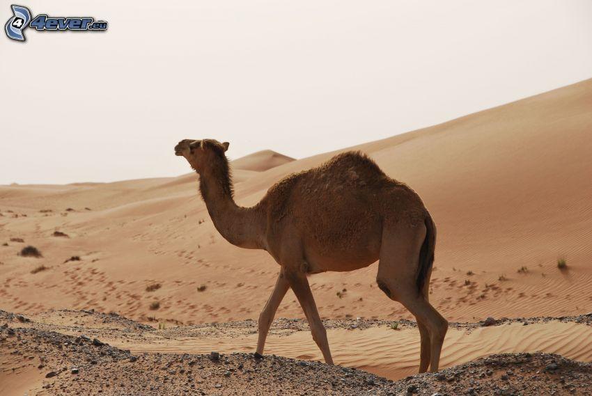 cammello, deserto