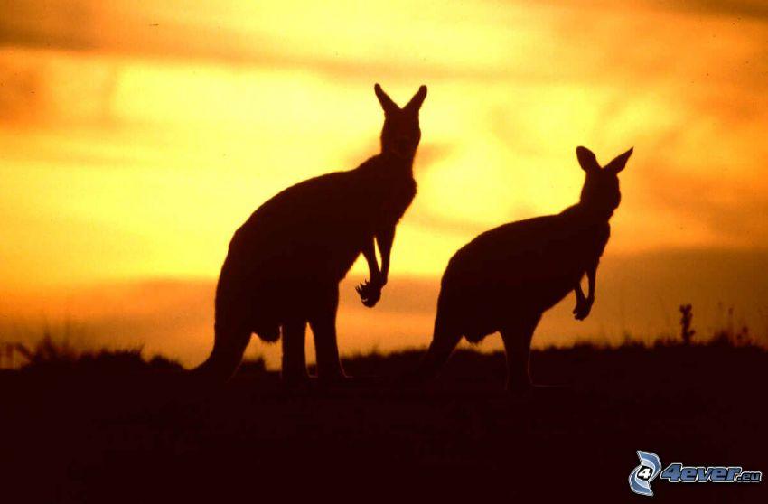 Canguri, siluette di animali, tramonto arancio, Australia