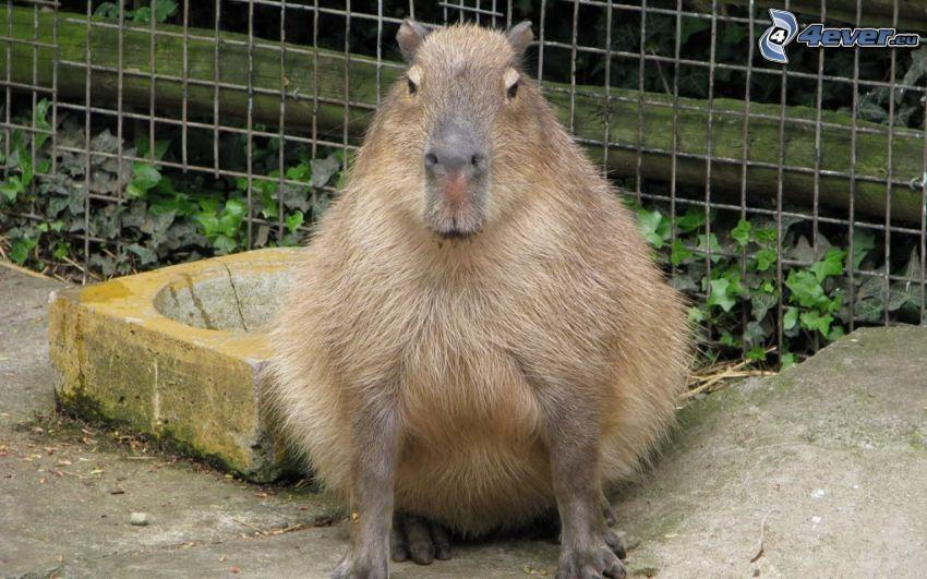 Capybara, recinzione