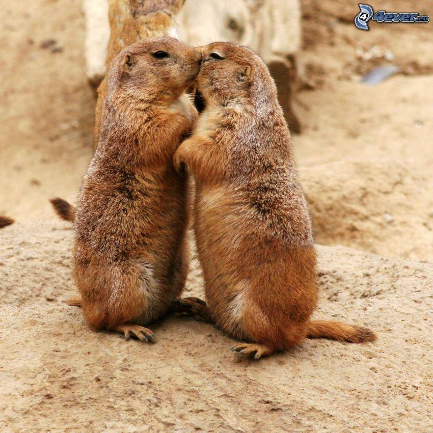 castoro, bacio
