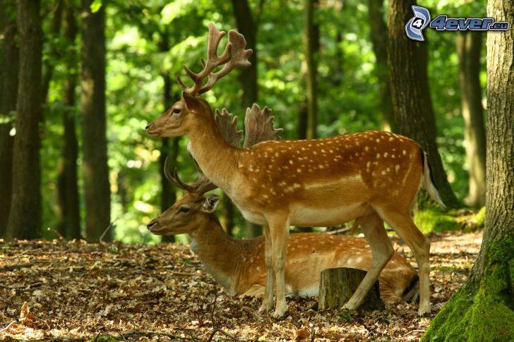 cervi, foresta