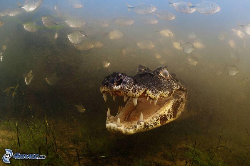 coccodrillo, acqua, pesci