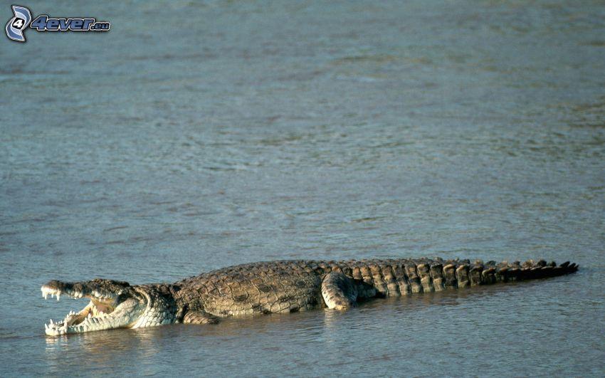 coccodrillo, acqua