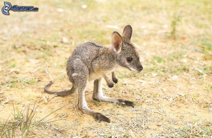 cucciolo di canguro