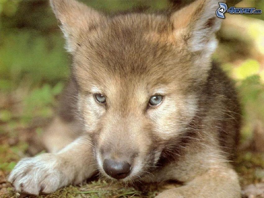 cucciolo di lupo