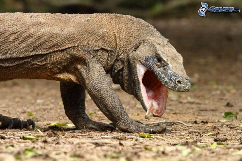 Drago di Komodo, sbadigliare