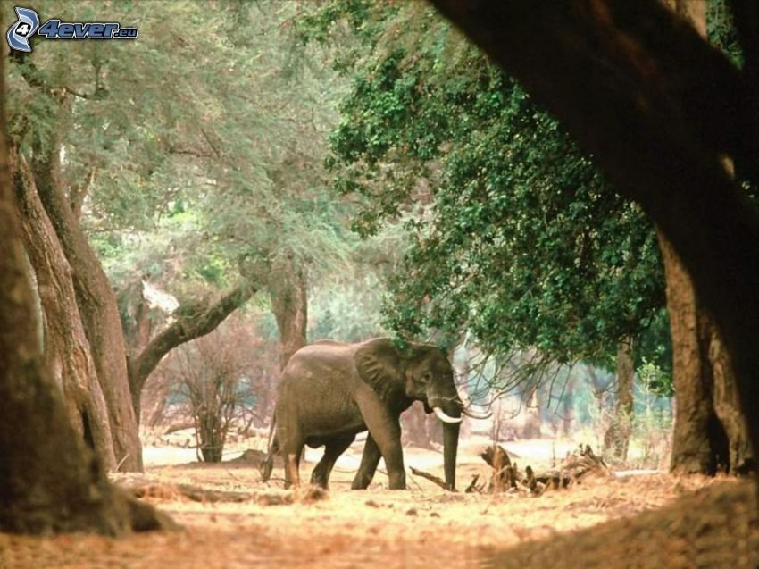 elefante, alberi