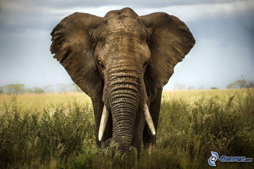 elefante, campo, HDR