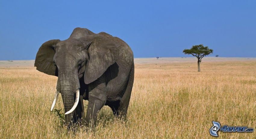 elefante, campo