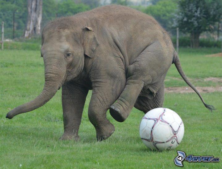 elefante, palla