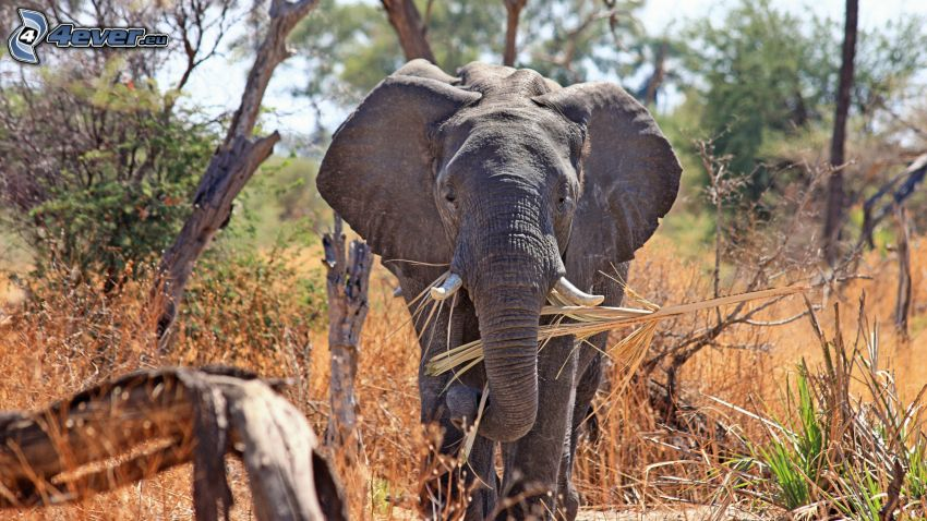 elefante, safari, alberi secchi