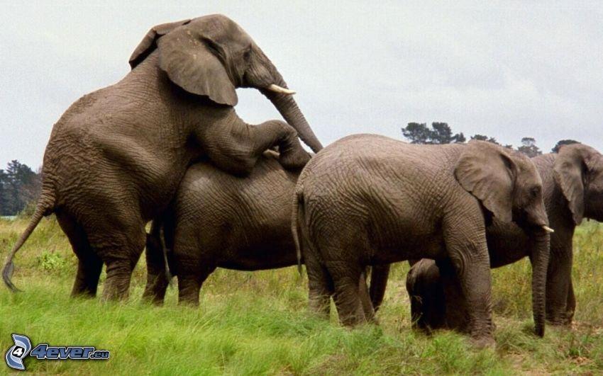 elefanti, accoppiamento degli uccelli