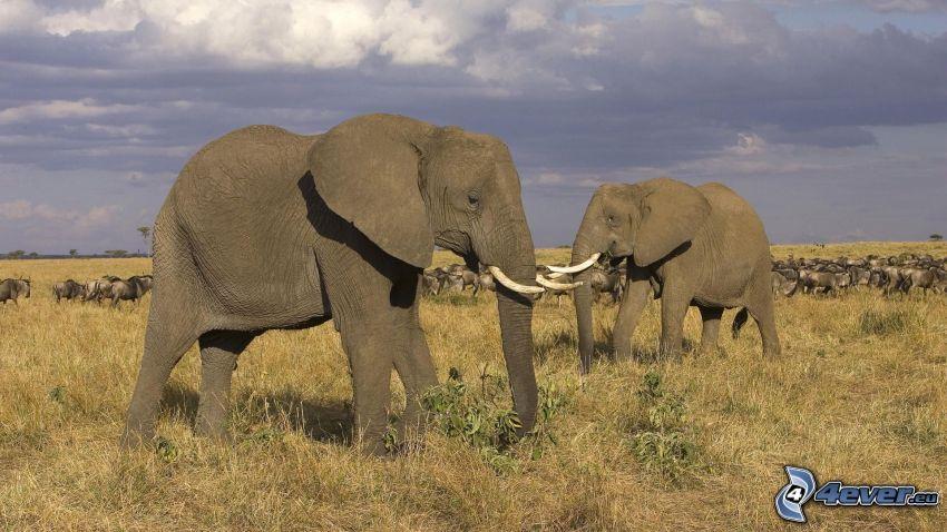 elefanti, branco di elefanti, cielo