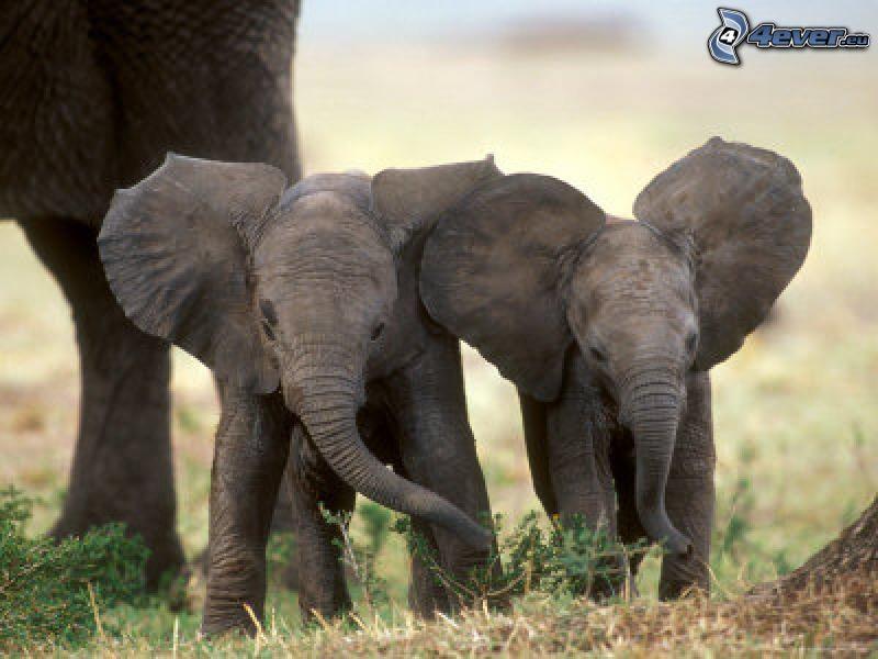 elefanti, giovani elefanti
