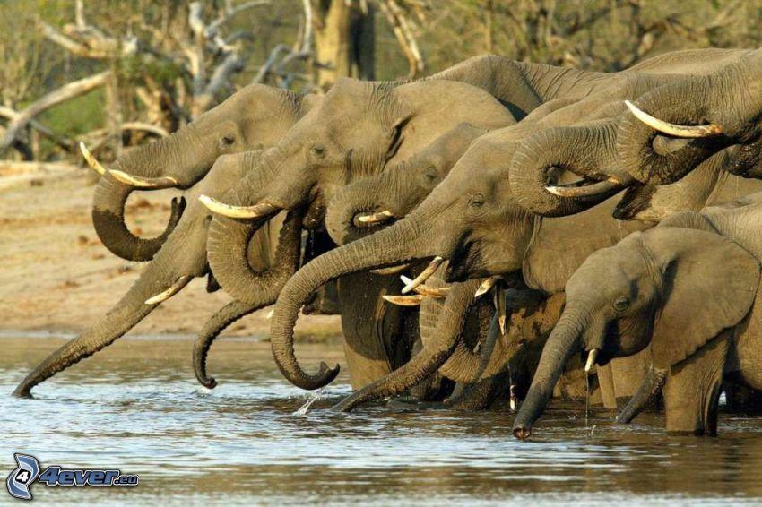 elefanti, il fiume