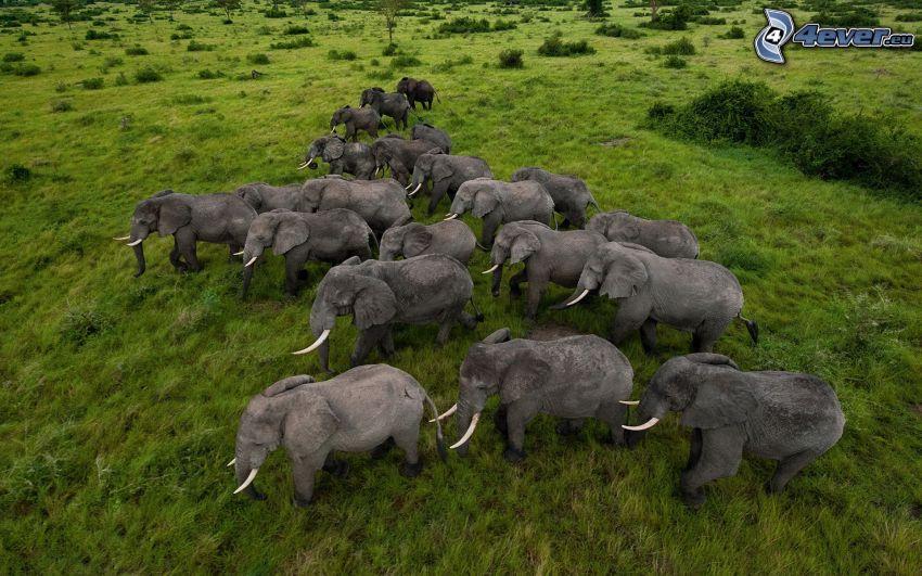 elefanti, prato