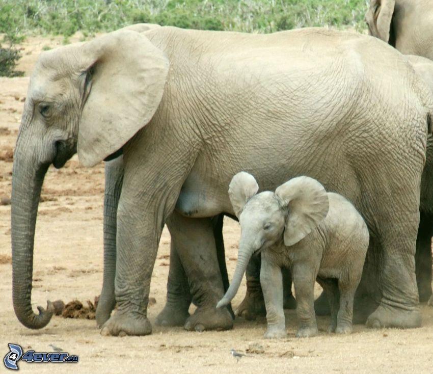 elefanti, prole di elefante