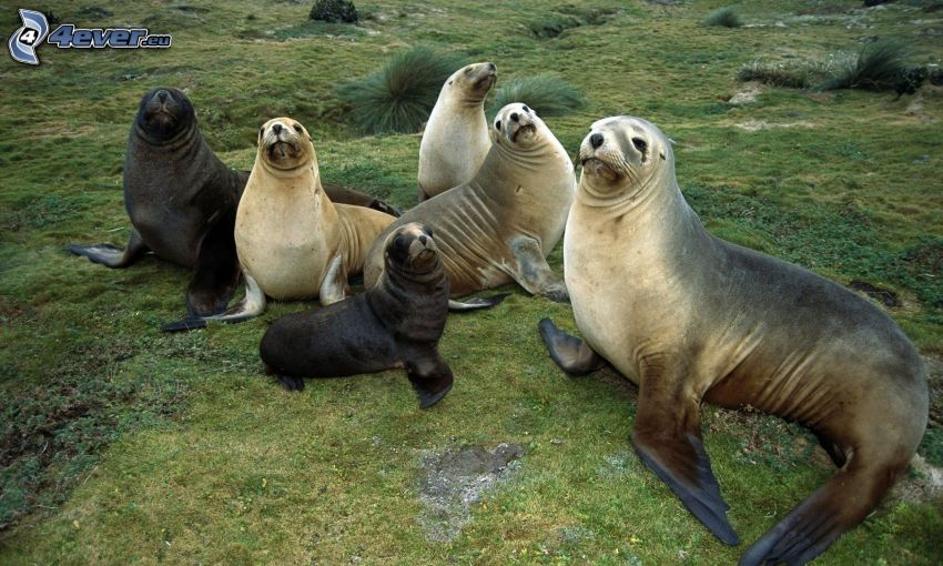 foche, cuccioli, l'erba